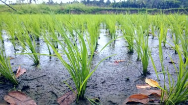 Paddy, a boon from the Cauvery river