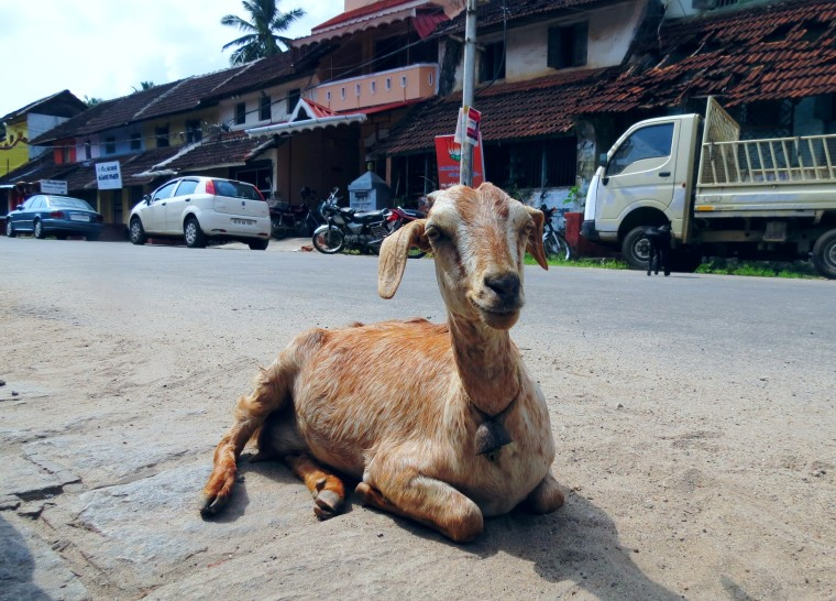 A goat getting ready for its siesta