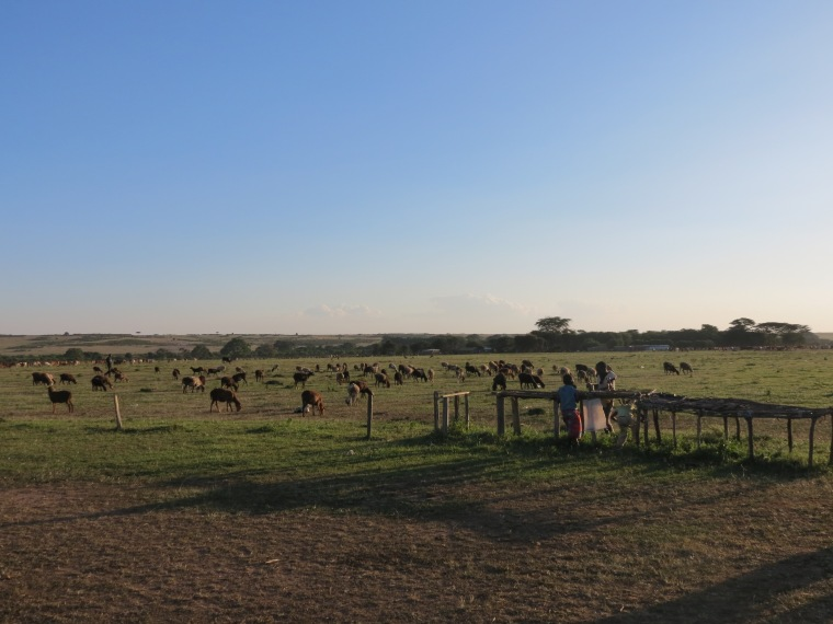 The livestock of the village