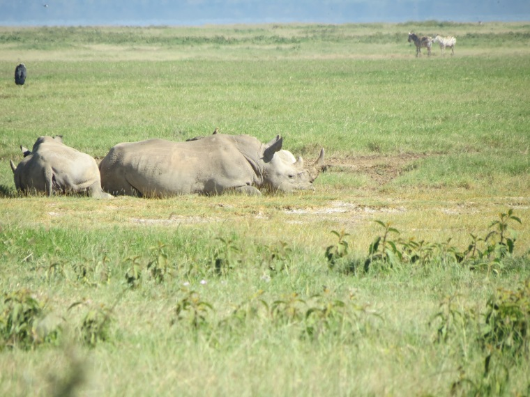 White Rhinos a rare sighting for us