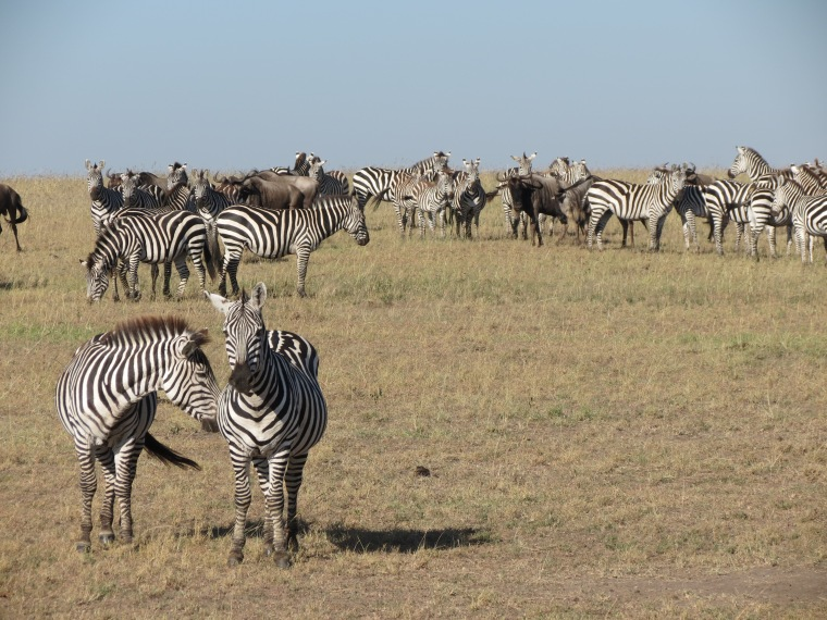 Zebras the other half of the Great Migration