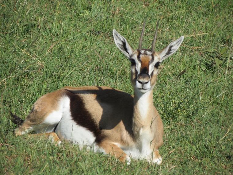 A Gazelle being alert