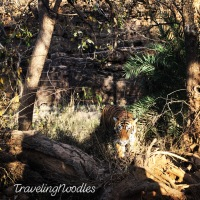 Can You Really See Tigers In Ranthambore? The Tiger Trail